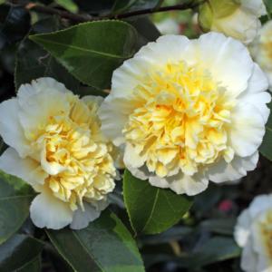 Camellia Jury's Yellow - Vrtnarstvo Breskvar