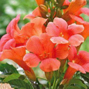 Campsis x t. 'Madame Galen' cvet - Vrtnarstvo Breskvar