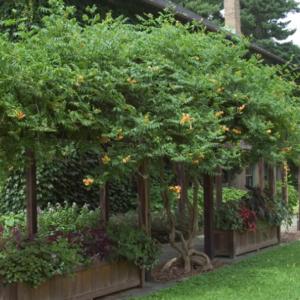 Campsis radicans 'Flava' - Vrtnarstvo Breskvar