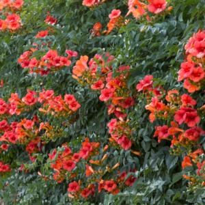 Campsis x t. 'Madame Galen' - Vrtnarstvo Breskvar