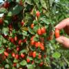 Lycium barbarum Big Lifeberry® - Vrtnarstvo Breskvar