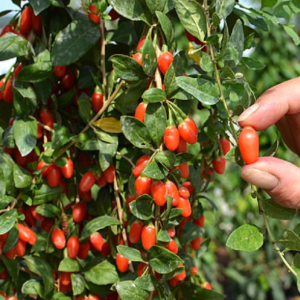 Lycium barbarum Big Lifeberry® - Vrtnarstvo Breskvar