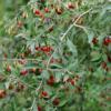 Lycium barbarum Sweet Lifeberry® - Vrtnarstvo Breskvar