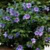 Hibiscus syriacus 'Marina' - Vrtnarstvo Breskvar