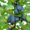 Lonicera kamtschatica Dolcevita® - Vrtnarstvo Breskvar