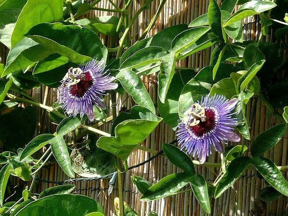 Passiflora Purple Haze - Vrtnarstvo Breskvar