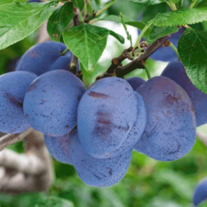 Prunus domestica Conquest - Vrtnarstvo Breskvar