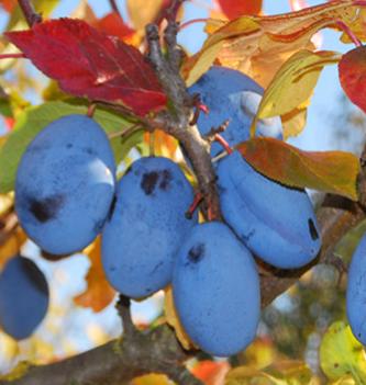 Prunus domestica Fidelia® - Vrtnarstvo Breskvart