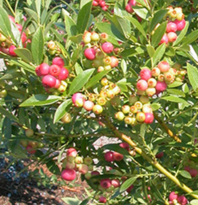 Vaccinium corymbosum 'Pinkberry Pia' - Vrtnarstvo Breskvar