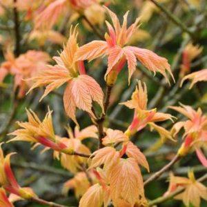 Acer pseudoplatanus 'Brilliantissimum' - Vrtnarstvo Breskvar