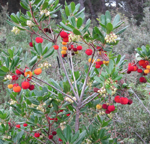 Arbutus unedo - Vrtnarstvo Breskvar