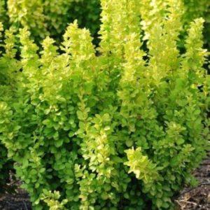 Berberis thunbergii 'Maria' - Vrtnarstvo Breskvar