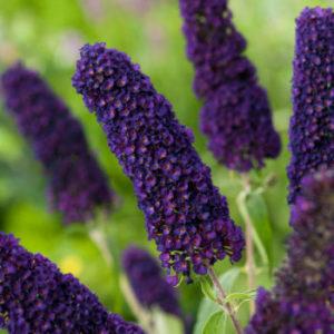 Buddleja davidii 'Black Knight' cvet - Vrtnarstvo Breskvar