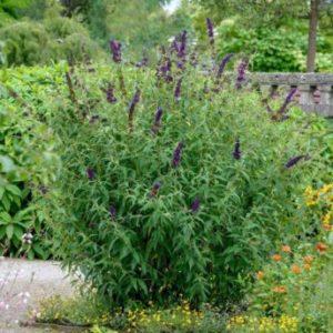 Buddleja davidii 'Black Knight' - Vrtnarstvo Breskvar