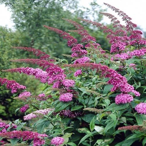 Buddleja ' Pink' - Vrtnarstvo Breskvara