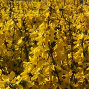 Forsythia intermedia 'Goldrausch' - Vrtnarstvo Breskvar