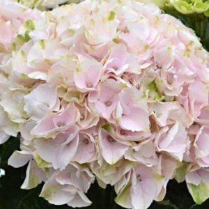 Hydrangea macrophylla 'Elegant Rosa' - Vrtnarstvo Breskvar