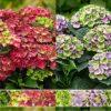 Hydrangea Magical four season - Vrtnarstvo Breskvar