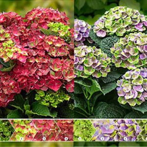 Hydrangea Magical four season - Vrtnarstvo Breskvar