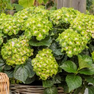 Hydrangea Vibrant verde - Vrtnarstvo Breskvar