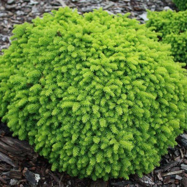 Picea abies 'Little gem' - Vrtnarstvo Breskvar