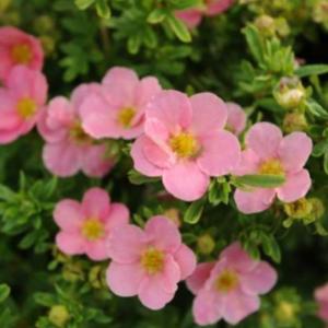 Potentilla fruticosa 'Pink Queen' - Vrtnarstvo Breskvar