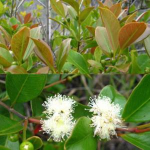 Psidium Cattleianum - Vrtnarstvo Breskvar