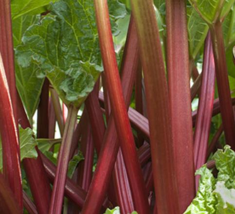 Rheum Rhabarbarum Livingstone (S) - Vrtnarstvo Breskvar