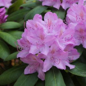 Rhododendron Catawbiense Grandiflorum_ - Vrtnarstvo Breskvar