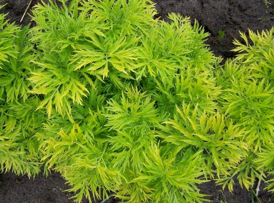 Sambucus nigra 'Golden Tower ' - Vrtnarstvo Breskvar