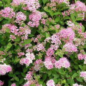 Spiraea japonica 'Little princess' - Vrtnarstvo Breskvar