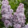 Syringa vulgaris 'Michel Buchner' - Vrtnarstvo Breskvar