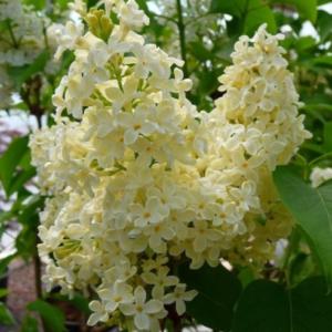 Syringa v. 'Primrose' - Vrtnarstvo Breskvar