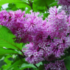 Syringa x prestoniae 'Royality' - Vrtnarstvo Breskvar