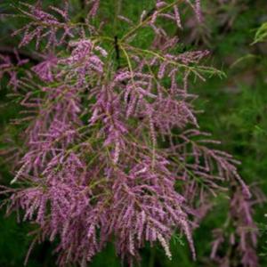 Tamarix tetrandra cvet - Vrtnarstvo Breskvar