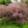Tamarix tetrandra-Vrtnarstvo Breskvar