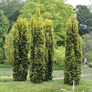 Taxus baccata fastigiata 'Aurea' - Vrtnarstvo Breskvar