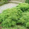 Tsuga canadensis 'Jeddeloh' - Vrtnarstvo Breskvar