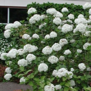 Viburnum carlcephalum - Vrtnarstvo Breskvar