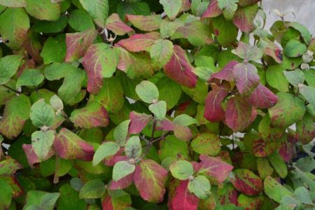 Viburnum carlesii 'Aurora' - Vrtnarstvo Breskvar
