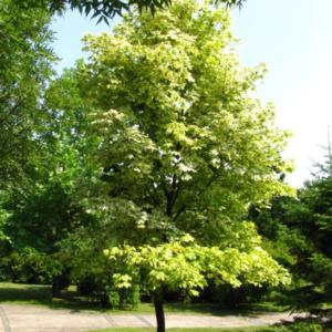 Acer platanoides 'Drummondii' - Vrtnarstvo Breskvar