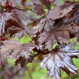 Acer platanoides 'Royal Red' - Vrtnarstvo Breskvar