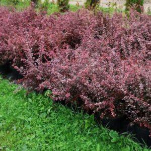 Berberis thunbergii 'Harlequin' - Vrtnarstvo Breskvar
