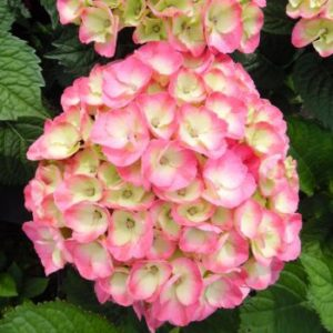 Hydrangea macrophylla 'Dolce Chic' - Vrtnarstvo Breskvar