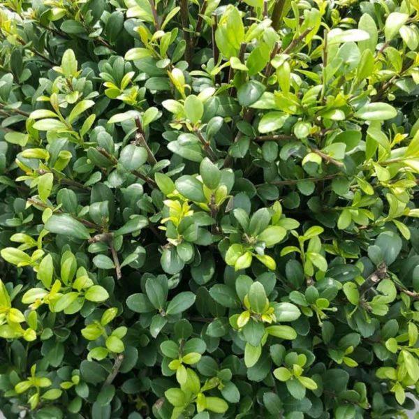 Ilex crenata 'Dark Green' - Vrtnarstvo Breskvar