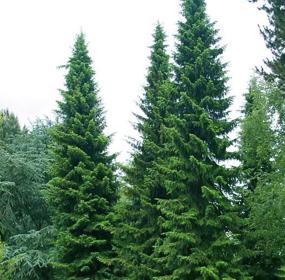 Picea omrika - Vrtnarstvo Breskvar