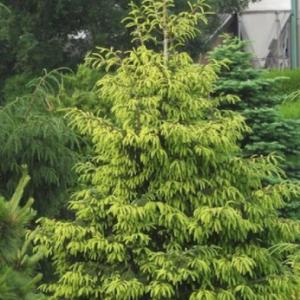Picea orientalis 'Aureospicata' - Vrtnarsarstvo Breskvar