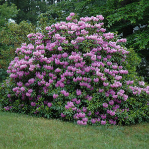Rhododendron catawbiense Grandiflorum - Vrtnarstvo Breskvar