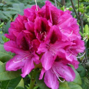 Rhododendron Cosmopolitan - Vrtnarstvo Breskvar