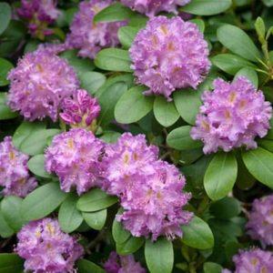 Rhododendron Roseum Elegans - Vrtnarstvo Breskvar